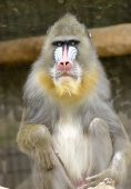 image of nostril  - Portrait view of an adult male mandrill sitting. Mandrillus sphinx is a primate of the Old World monkey with olive green and dark gray pelage yellow bands white belly red nostrils blue cheeks and yellow beard.