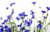 blue cornflowers on white background