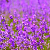 lavender flowers blooming