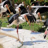 Painted Stork Expand The Wings
