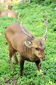 Deer Bucks