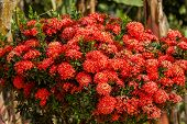image of jungle flowers  - Red Ixora flowers of rubiaceae tree - JPG