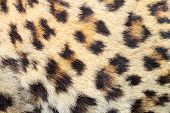 Spots On Real Leopard Fur