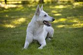 foto of swiss shepherd dog  - White Swiss Shepherd is laying on grass - JPG