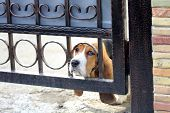 picture of droopy  - Closeup shot of sad Basset hound with sad face - JPG