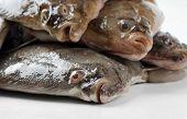 Fresh Flounders