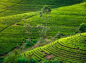 foto of landforms  - Tea plantation in Sri Lanka - JPG