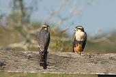 Aplomado Falcon Pair