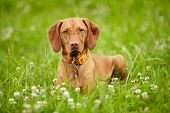 picture of hungarian  - Hungarian Vizsla pointer dog outdoor - JPG