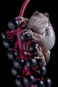 picture of pokeweed  - A gray tree frog is perched on top of pokeweed berries - JPG