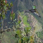 stock photo of colibri  - Colibri by the tree branch on Machu Picchu background - JPG