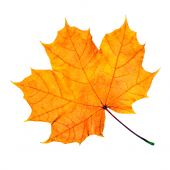 image of fall leaves  - Maple fall leaf isolated on white background - JPG