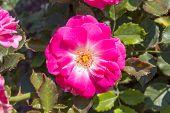 Pink Rosa Dumalis