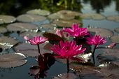 pink water lilies and lily pads