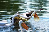 Group Of Great White Pelicans In Water