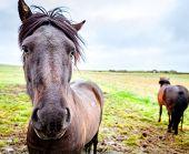 Icelandic Ponies on a farm in Iceland