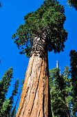 One Of The Biggest Sequoia Tree In The World, Sequoia National Park, California, Usa