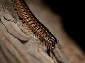 Two Centipedes On A Tree Bark