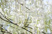 Wisteria flowers with blur