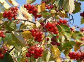 Ripe Fruit On The Branches Of Hawthorn