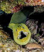 Green Moray, Gymnothorax Funebris