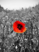 A poppy in the Fields of flanders