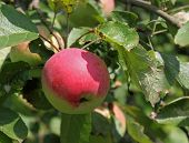Red Apple Ripening On The Branch