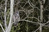 Great Grey Owl perched