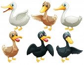 Illustration of the ducks and geese on a white background