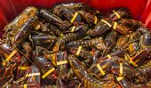 American Maine lobsters