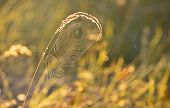 pic of cobweb  - Spider web on a meadow in the rays of the rising sun - JPG