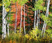 Autumn foliage including birch and maple trees with pine forest
