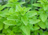 Green fresh marjoram herbs in the garden.
