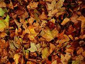 Autumnal Gold Leaf poster