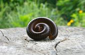 Millipede In Perfect Spiral Form On Wooden Background