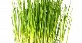 Wheat Seedling