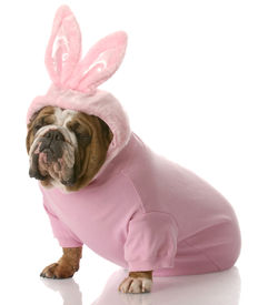 stock photo of bunny costume  - english bulldog wearing pink easter bunny costume with reflection on white background - JPG