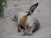 A sleeping Australian sea lion