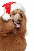 Red Royal Poodle In Santa Hat