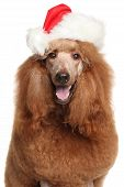 foto of standard poodle  - Royal poodle in Santa Christmas red hat on white background - JPG