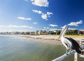 Pelican at a jetty in beachside suburb of Adelaide