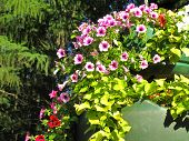 foto of planters  - Pink flowering petunias in hanging outdoor planters - JPG