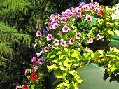 stock photo of planters  - Pink flowering petunias in hanging outdoor planters - JPG