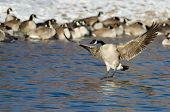 image of snow goose  - Canada Goose Landing in a Winter River - JPG