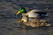 Pair Of Mallard Ducks Swimming Down The River