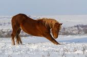 Red horse in snow field