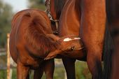 picture of lactating  - Happy chestnut foal and his mother socialising - JPG