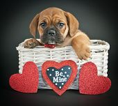 pic of bulldog  - Little Bulldog puppy in a basket with hearts around her on a black background - JPG