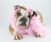image of evil queen  - Funny looking Bulldog all dressed up in pink on a white background - JPG
