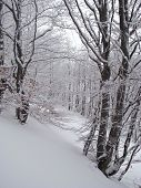 Beech forest in the winter.